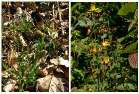 anemone sylvestris gaissmayer