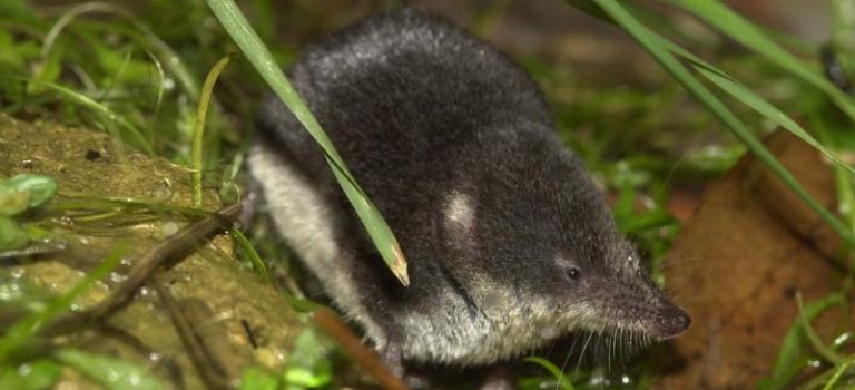 Enquête sur 3 mammifères protégés : le Muscardin, le Campagnol amphibie et la Crossope aquatique