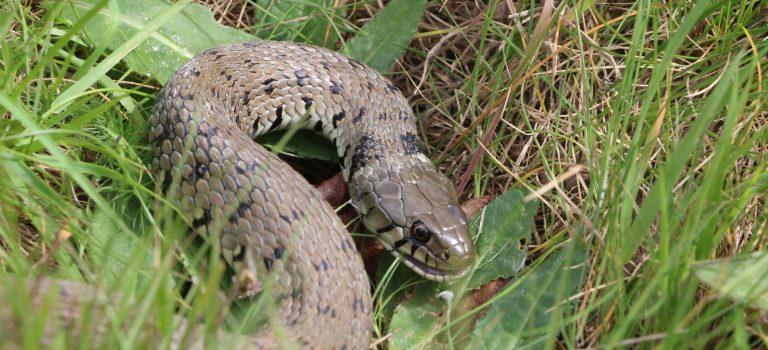 Atlas des amphibiens et reptiles de Poitou-Charentes