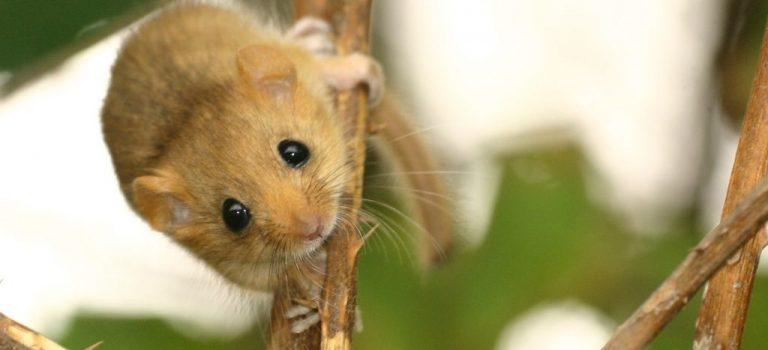 Enquête muscardin : partons à la recherche de noisettes rongées !!