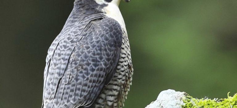 Oiseaux des carrières du Poitou-Charentes