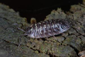 Oniscus asellus SD